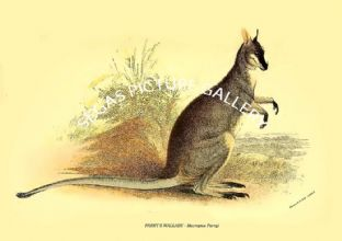 PARRY'S WALLABY - Macropus Parryi